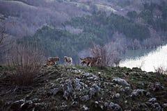 Пакет волка стоковые изображения
