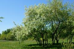 Пакет зацветая яблок Стоковое Изображение RF