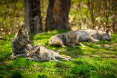 Пакет койота отдыхая и спать в лесе Стоковое Изображение