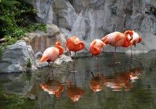 Пакет красных американских фламингоов в озере Стоковое фото RF