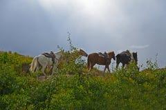Пакет лошадей покрывает холм в национальном парке ледника стоковая фотография rf