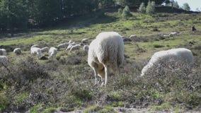 Пакет овец близко друг к другу быть руководством sheepherder сток-видео