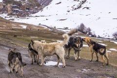Пакет собак в svanetia стоковое изображение