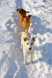пакет собак Стоковое Фото