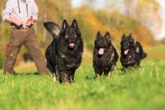 Пакет старый бежать собак немецкой овчарки стоковые изображения