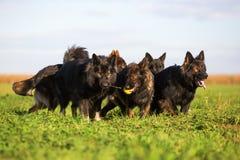 Пакет старых собак немецкой овчарки Стоковые Изображения RF