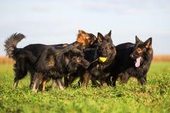 Пакет старых собак немецкой овчарки Стоковая Фотография RF
