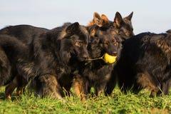 Пакет старых собак немецкой овчарки Стоковая Фотография