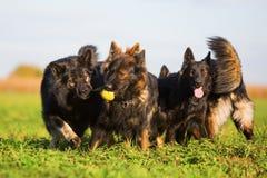 Пакет старых собак немецкой овчарки Стоковые Изображения