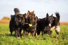 Пакет старых собак немецкой овчарки Стоковые Фотографии RF