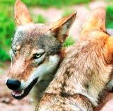 Пакет wolfs Стоковое Изображение
