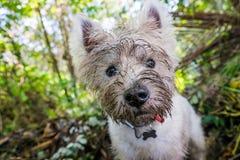Пакостная западная собака westie терьера гористой местности с тинной стороной outdoors стоковое фото