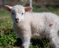 пакостная овечка Стоковые Фотографии RF