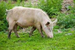 пакостная пася свинья Стоковое Фото