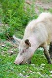 пакостная пася свинья Стоковая Фотография RF