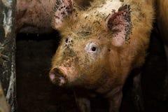 Пакостная свинья на традиционной ферме Стоковое Изображение RF