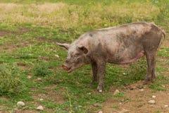 пакостная свинья Стоковое Изображение RF