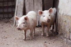 пакостная свинья Стоковые Фотографии RF