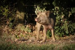 пакостная свинья Стоковые Изображения RF