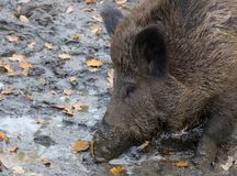пакостная свинья Стоковое Изображение