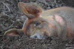 пакостная свинья Стоковая Фотография