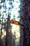 Пакостная смертная казнь через повешение пивной бутылки на ветви дерева Стоковая Фотография RF