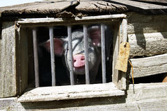 Пакостная смешная свинья Стоковая Фотография