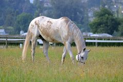 Пакостная упущенная тинная отечественная лошадь Стоковое фото RF