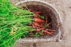 Пакостные моркови в плетеной корзине Стоковое Изображение