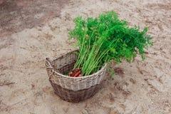 Пакостные моркови в плетеной корзине Стоковое Фото