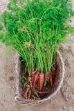 Пакостные моркови в плетеной корзине Стоковое фото RF