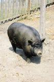 пакостный вьетнамец свиньи Стоковое Фото