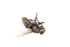 Пакостный мертвый изолят мухы Стоковая Фотография RF
