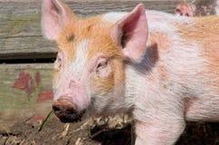 Пакостный намордник свиней Стоковое Изображение RF
