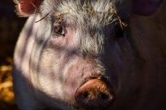 Пакостный портрет поросенка в тени Стоковая Фотография RF