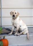 Пакостный щенок хочет прийти внутри Стоковые Изображения