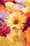 Палевый цветок calendula среди ярких цветенй стоковое фото rf