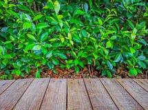 Палуба картины Брауна деревянная на листьях растительности предпосылки завода фикуса стоковое изображение