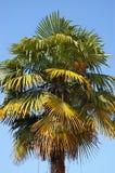 пальма вентилятора старая Стоковые Изображения RF