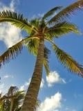 пальма кокоса Стоковая Фотография RF