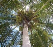 пальма кокоса Стоковое Изображение RF