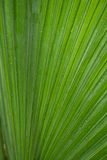пальма листьев cclose вверх Стоковые Фото