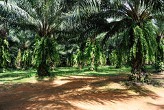 пальма масла Стоковые Фото