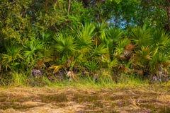 Пальма сахара в рисе Таиланде Стоковое фото RF