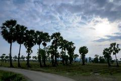 Пальма сахара стоковое изображение rf