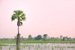 Пальма сахара стоковые изображения
