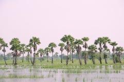 Пальма сахара Стоковые Изображения RF