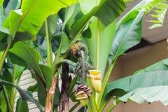 Пальма с зелеными бананами на ветви стоковые фотографии rf