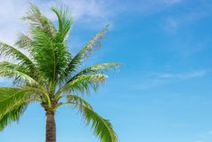 Пальма с пасмурным голубым небом, космос кокоса экземпляра стоковая фотография