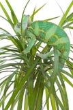пальма хамелеона Стоковая Фотография